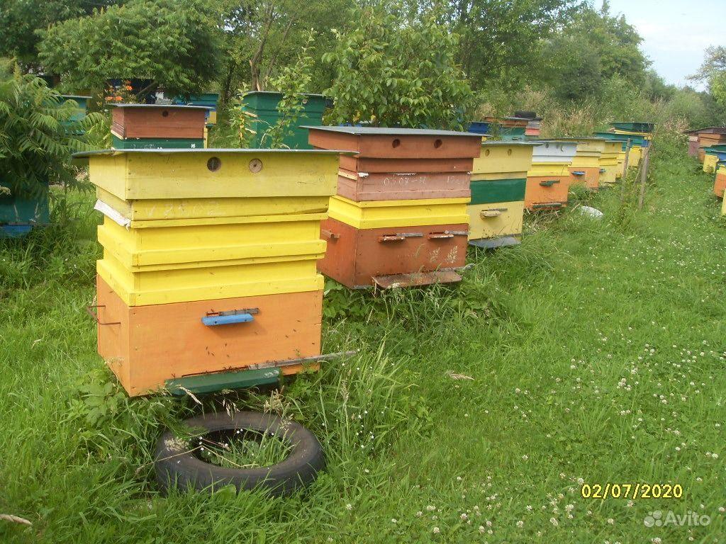 Пчелы породы Карника (краинка) в Советске - фотография № 3