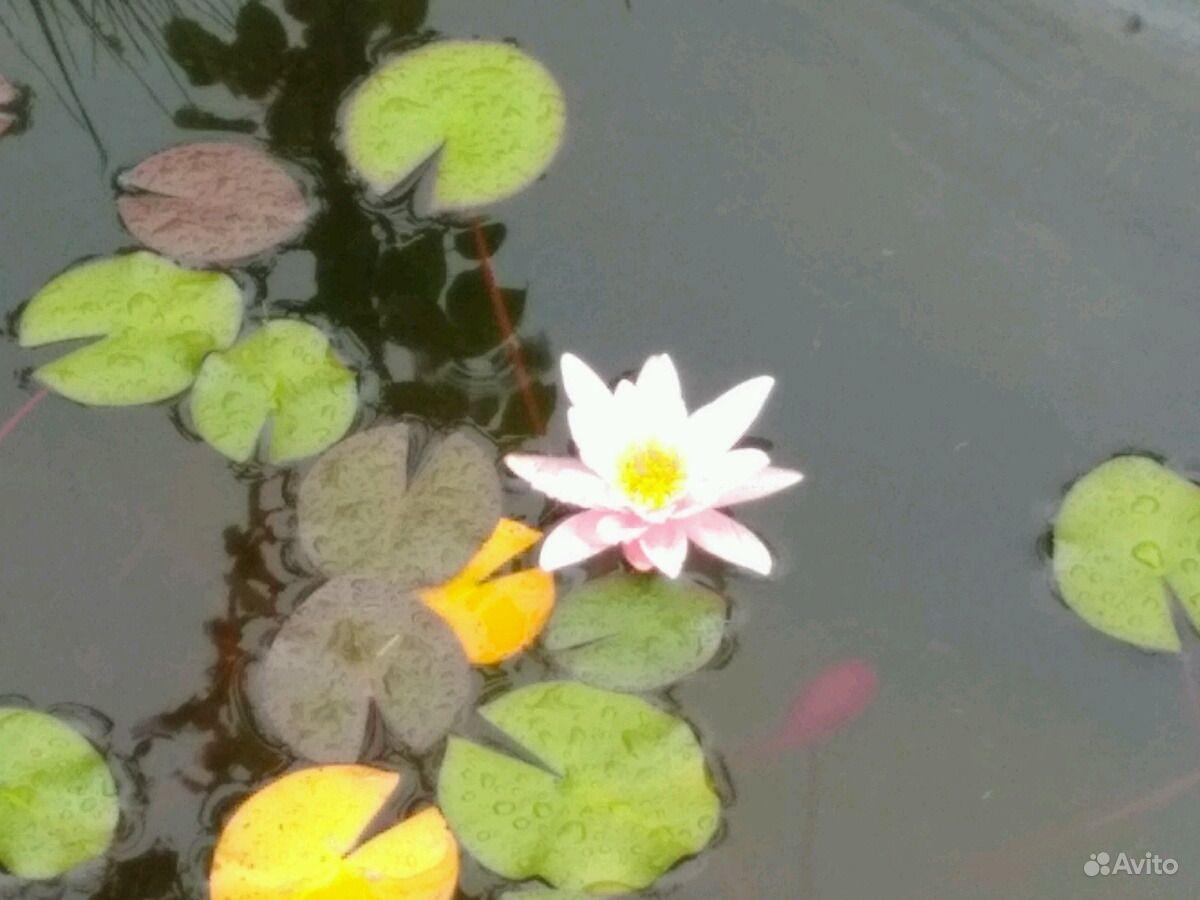Водяная лилия (нимфея) купить на Зозу.ру - фотография № 2