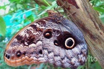Живые Тропические бабочки Сова Андромеда - фотография № 3