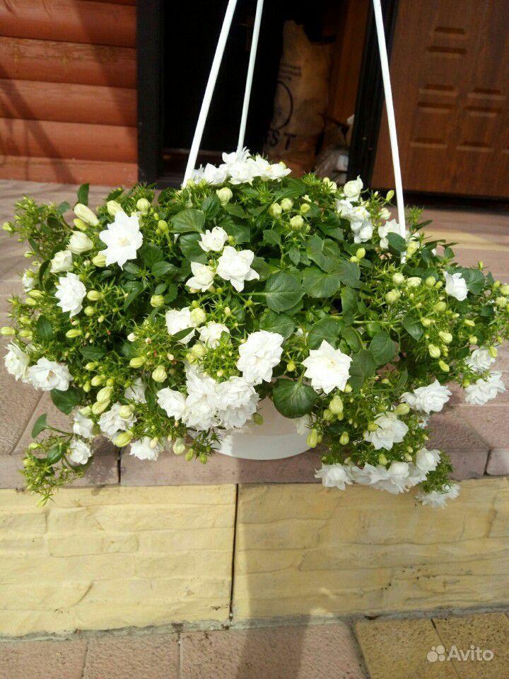 Кампанула. Жених и невеста купить на Зозу.ру - фотография № 10