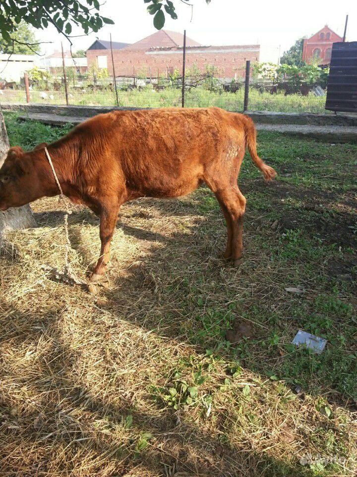 Продается теленок