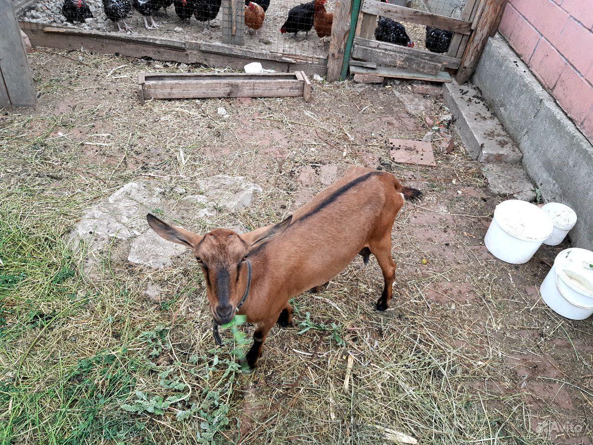 Коза породаЧешская