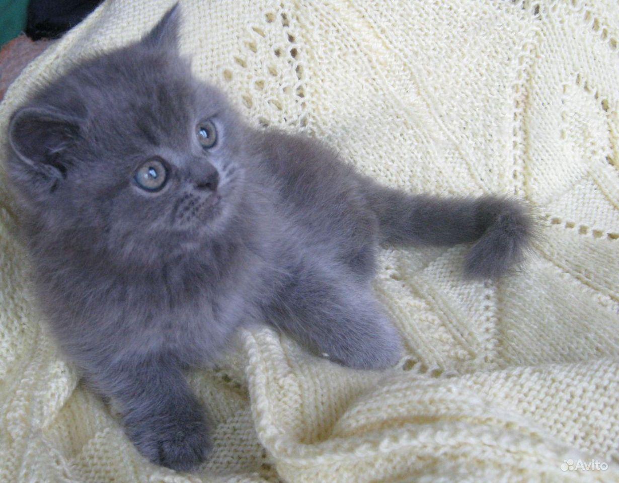Британкие котята