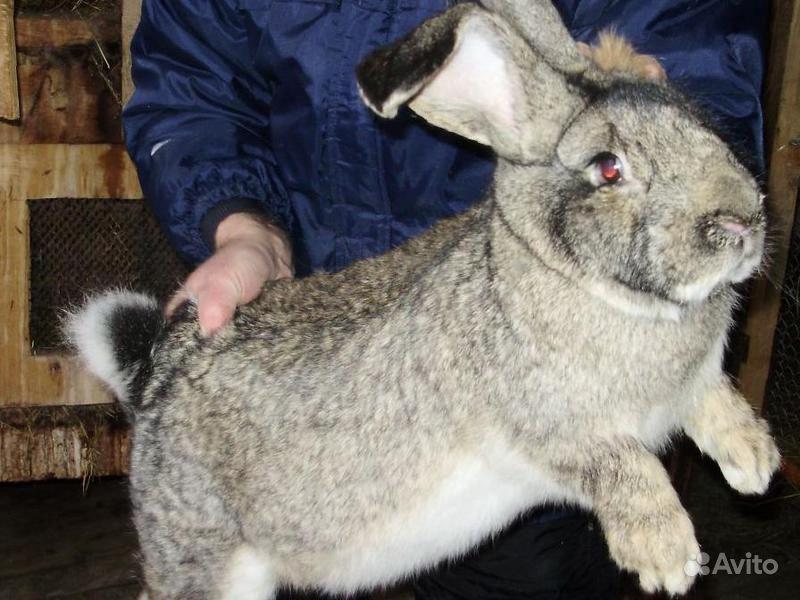 Продам кролика.Самец.Порода бельгийский фландр