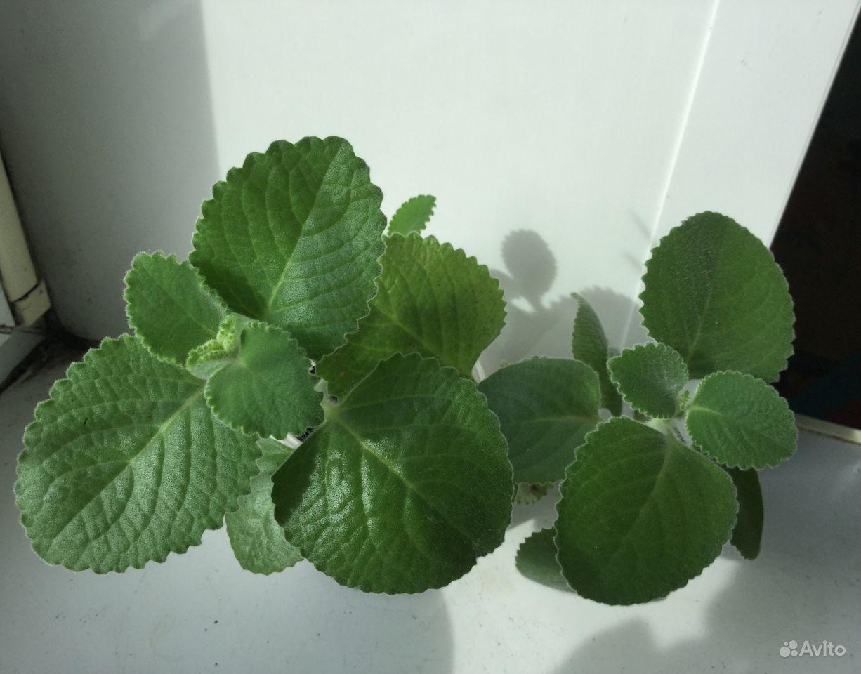 Лекарственные растения комнатные купить на Зозу.ру - фотография № 3