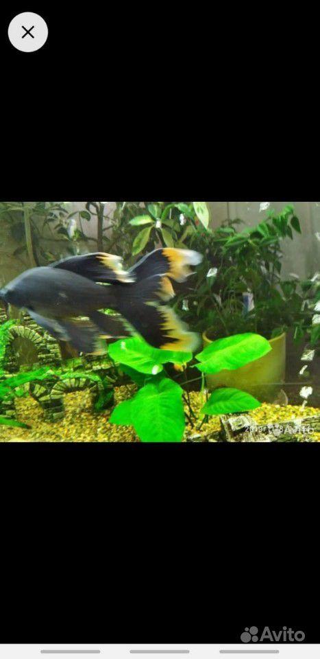 Рыбка Комета купить на Зозу.ру - фотография № 1