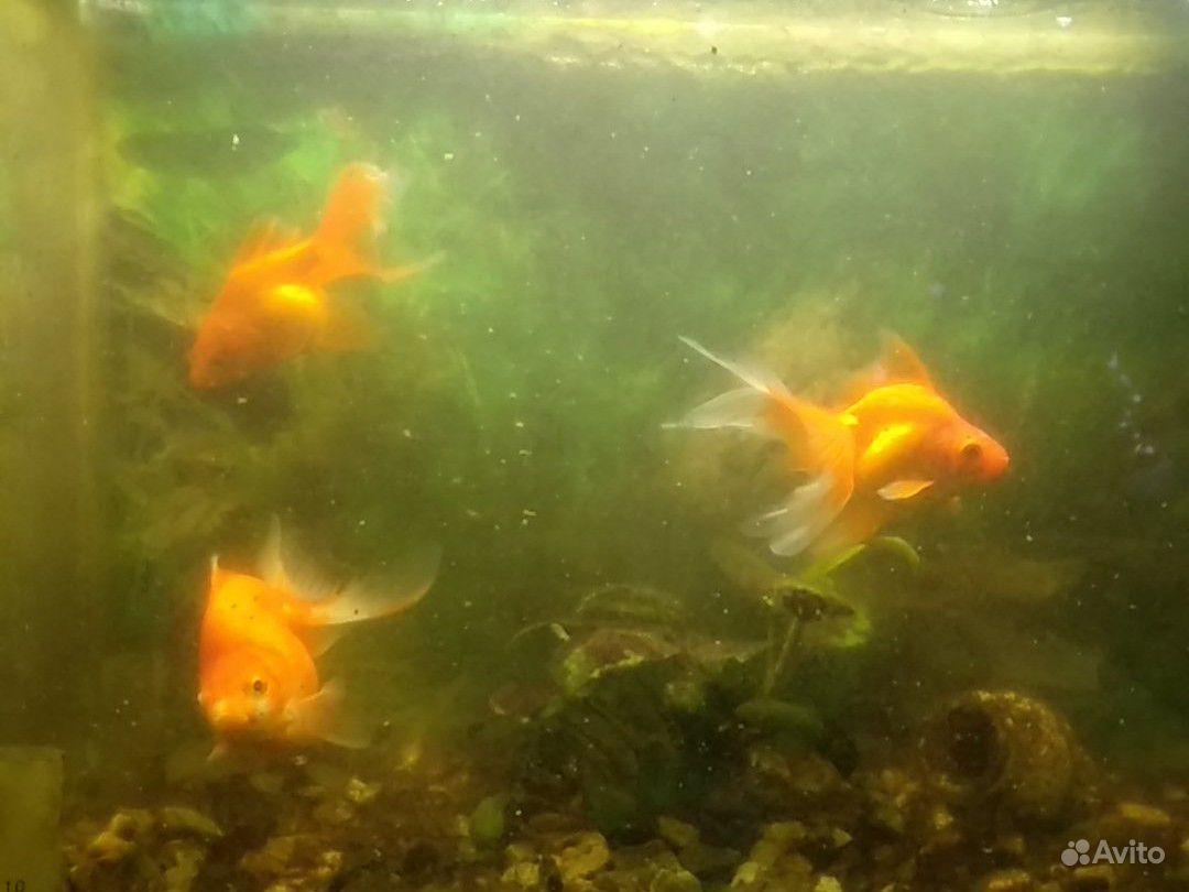 Золотые рыбки купить на Зозу.ру - фотография № 4