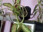 Диффенбахия. Комнатное растение