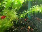 Креветки в аквариум