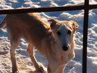 Псовая Борзая - собака