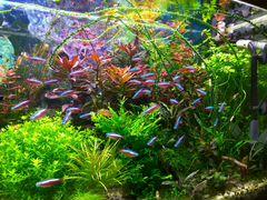 Аквариумные рыбки: красный неон, гуппи эндлера