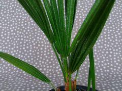 Пальма кустовая Хамеропс низкий Chamaerops humilis