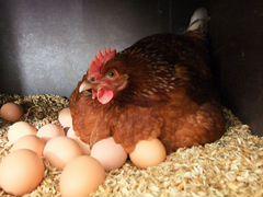 Куриные яйца от домашних молодок