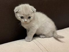 Продам котят шатланцы