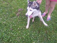 Найдена собака Хаски