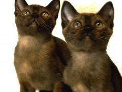Соболиные котята 3 месяца из питомника