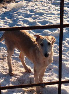 Псовая Борзая - собака объявление продам