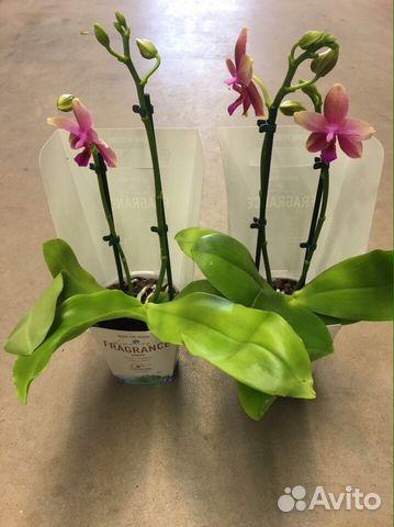 Орхидеи купить авито