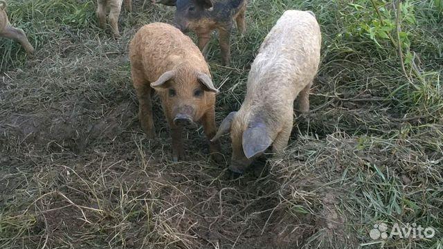 коровы свиньи козы на авито тульская обл кровли (стоимость квадратного