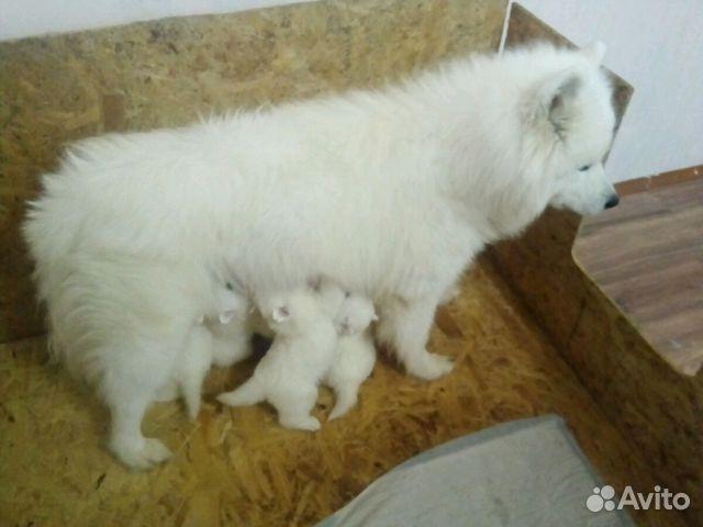 Продаются щенки Самоеда купить на Зозу.ру - фотография № 9