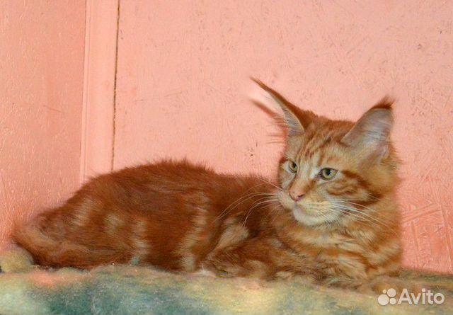 Мейн кун котята из питомника,кошечка Афина