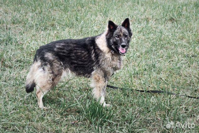 Добрейшая чёрная собака ищет дом купить на Зозу.ру - фотография № 2