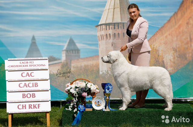 Щенки Польская подгалянская овчарка купить на Зозу.ру - фотография № 7