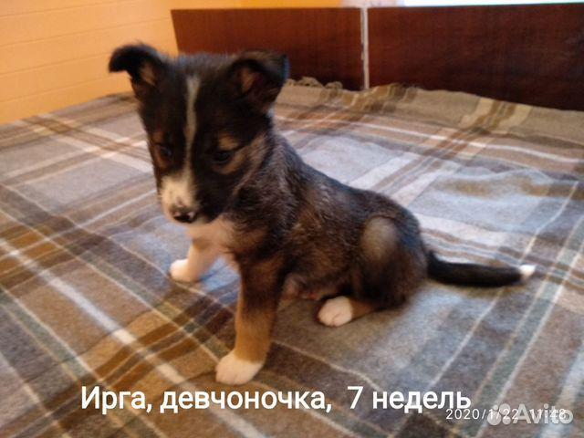 Красивые, здоровые щенки в добрые руки, любящую се купить на Зозу.ру - фотография № 3