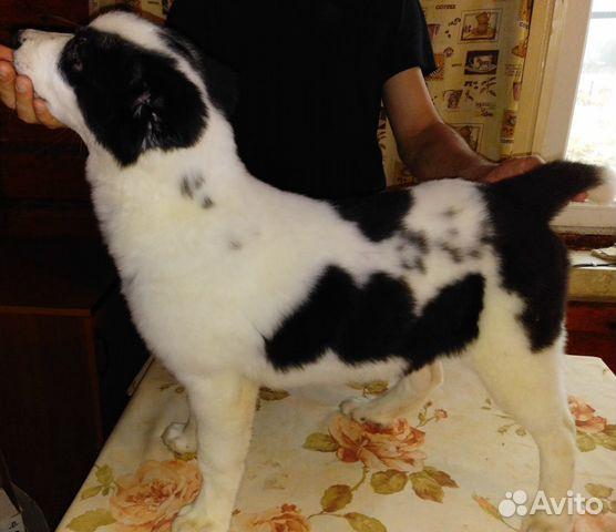 Продаються щенки Среднеазиатской овчарки купить на Зозу.ру - фотография № 5