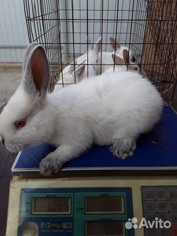 Кролики 89202417955 купить 10