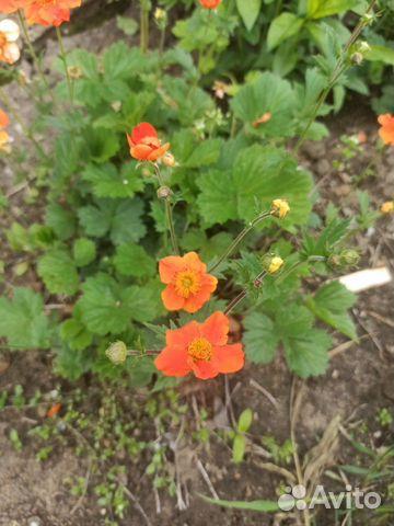Многолетние цветы примула, почвопокровные, для гор  купить 4