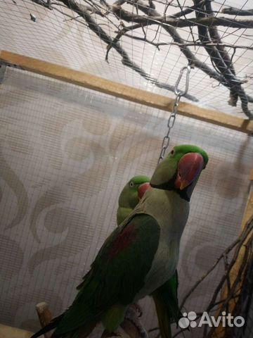 Александрийский попугай пара  89841477915 купить 1