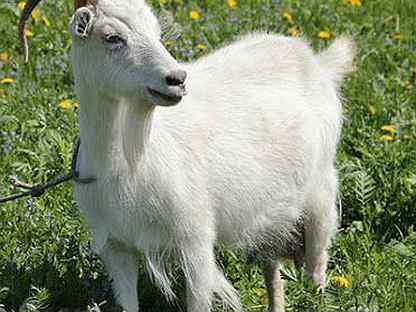 Родившие козы и козлята