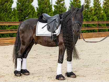 Фелл-пони, лошадь