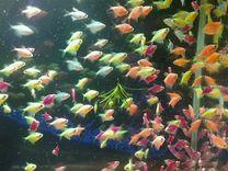 Тернеция карамелька все цвета и много других рыбок