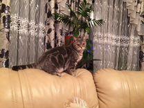 Котята. Британец мраморный