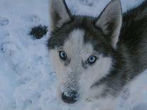 Сибирский хаски — Животные в Великовечном