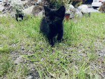 Котята британской кошки