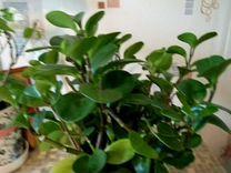 Домашнее растение Пеперомия