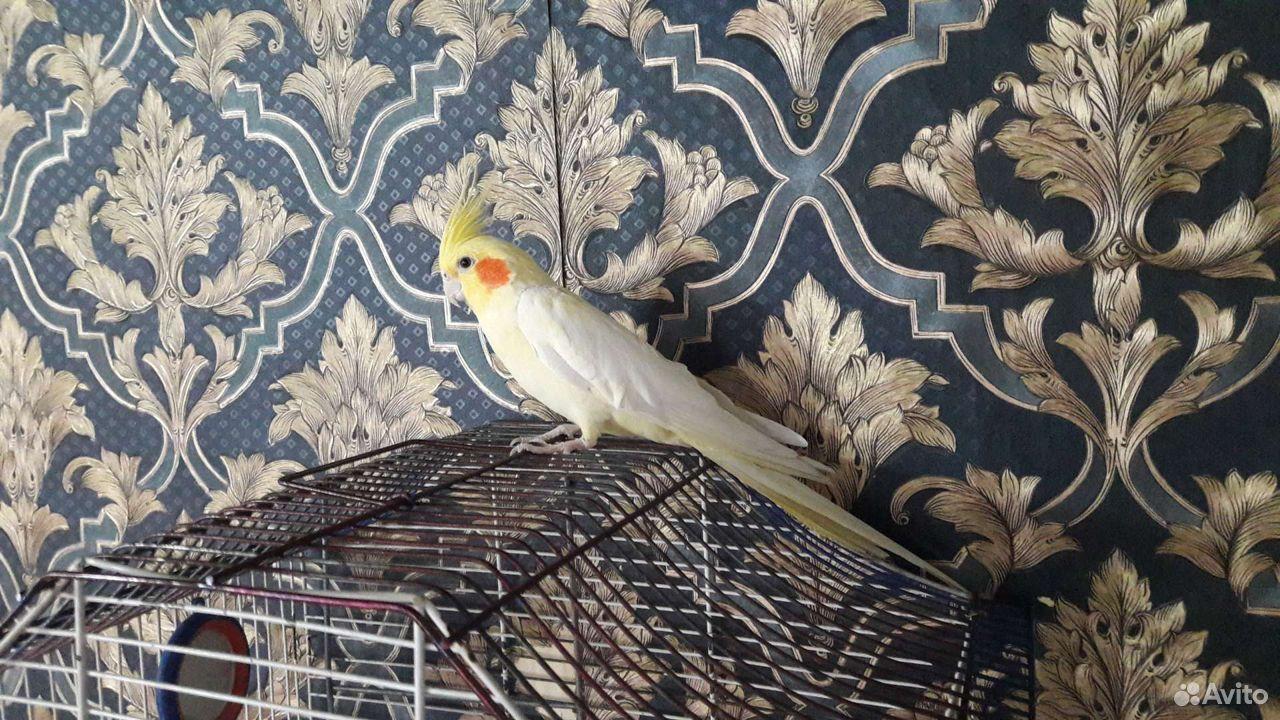 Животные,попугай Корелла