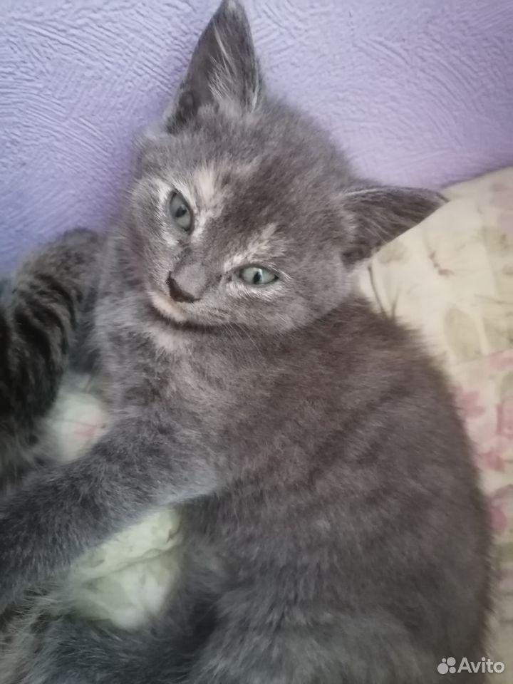 Котик от Британской кошки отдам бесплатно  89132481746 купить 1