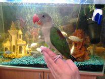Александрийские попугаи птенцы выкормыши
