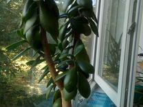 Толстянка /денежное дерево