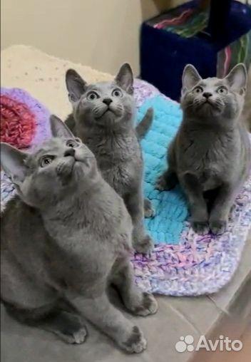 Kattungar, Russian blue katt  89149125544 köp 1