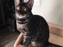 Молодой котик бенгал редкого чёрного окраса