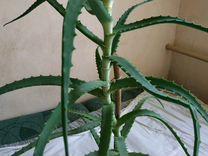 Алоэ — Растения в Рязани