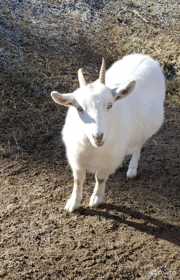 Молодые козы