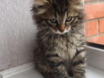 Котята от курильского бобтейла