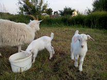 Продам молочную козу, козлёнка и козочку