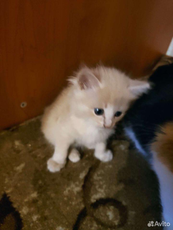 Котята мышеловы  89088757714 купить 2